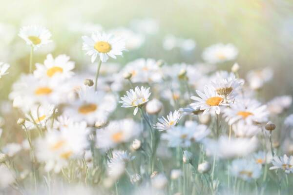 field of pretty camomile flowers